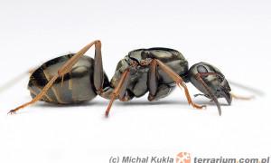 Formica lemani