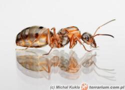 Formica rufibarbis – pierwomrówka krasnolica