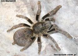 Pterinochilus vorax