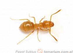Lasius umbratus – podziemnica ciepłolubna