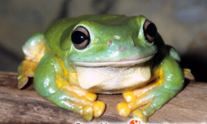 Litoria splendida