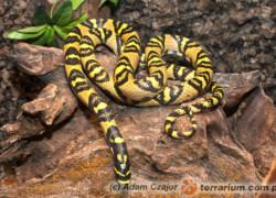 Euprepiophis mandarinus – wąż mandaryński