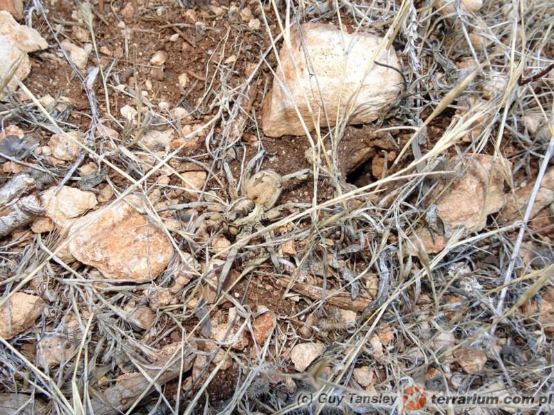 Lycosa praegrandis - lokalizacja Cypr
