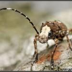 Anthribidae – kobielatkowate
