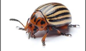 Stonka ziemniaczana – owad niezwykły…
