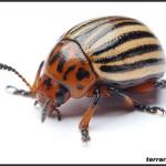 Chrysomelidae – stonkowate