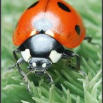Coccinellidae – biedronkowate