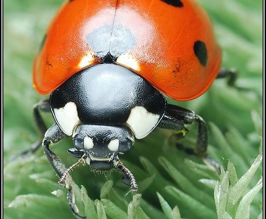 Coccinellidae – biedronkowate