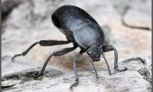Tenebrionidae – czarnuchowate