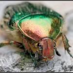 Scarabaeidae – poświętnikowate