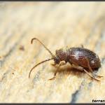Anobiidae – kołatkowate