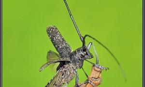Cerambycidae – kózkowate