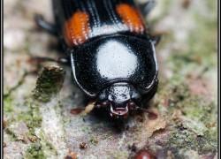 Nitidulidae – łyszczynkowate