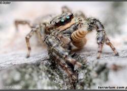 Skakunowate (Salticidae) – Lista gatunków występujących w Polsce