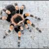 Brachypelma hamorii - ptasznik pomarańczowokolanowy