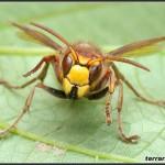 Hymenoptera – błonkoskrzydłe