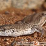 Varanus brevicauda – waran karłowaty