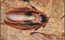 Blaberus craniifer – karaczan brazylijski*