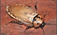 Eublaberus distanti