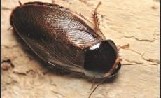 Pycnoscelus surinamensis – karaczan surinamski