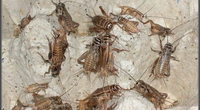 Acheta domesticus – świerszcz domowy – wpływ temperatury i rodzaju pokarmu na rozwój
