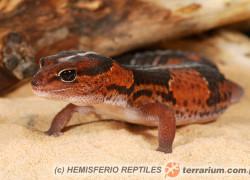 Hemitheconyx caudicinctus – eublefar gruboogonowy, gekon gruboogonowy*