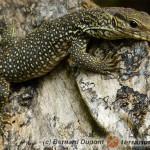 Varanus bengalensis – waran bengalski