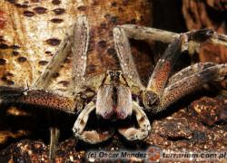 Phoneutria spp. – wałęsak brazylijski*