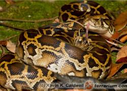 Python molurus – pyton tygrysi