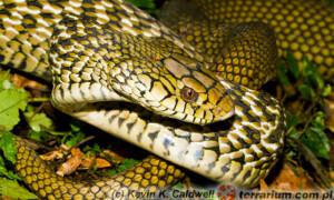 Elaphe carinata – wąż śmierdziel