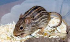 Lemniscomys barbarus – mysz berberyjska
