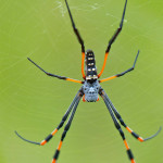 Nephila spp.
