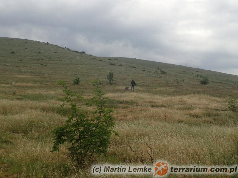 Lycosa praegrandis - lokalizacja prowincja Novo Selo Plovdiv, Bułgaria
