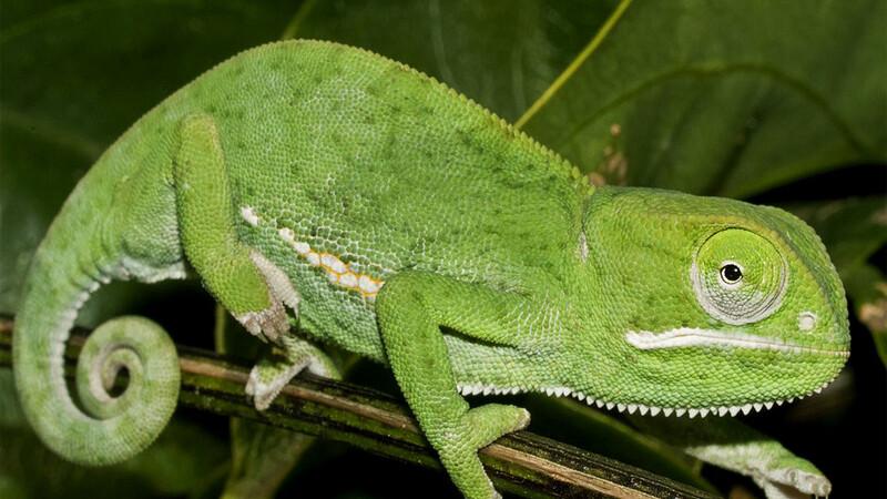 Chamaeleo dilepis – kameleon uszaty