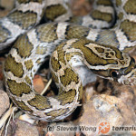 Pantherophis emoryi – wąż preriowy