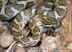 Długość ogona u węży, a grawitacja