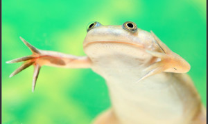 Xenopus laevis – żaba szponiasta, żaba platana