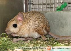 Jaculus orientalis – podskoczek duży*, skoczek egipski**
