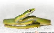 Opheodrys aestivus – wąż trawny
