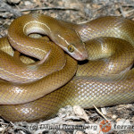 Lamprophis fuliginosus – wąż mahoniowy