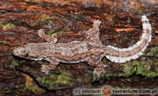 Hemidactylus craspedotus – gekon tajski domowy*