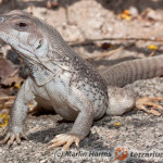Dipsosaurus dorsalis – legwan brązowy