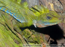 Gonocephalus grandis – drakun olbrzymi