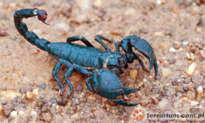 Pandinus imperator – skorpion cesarski