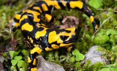 Salamandra salamandra – salamandra plamista