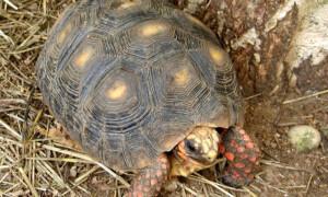 Chelonoidis (Geochelone) carbonaria – żółw żabuti, żabuti czarny