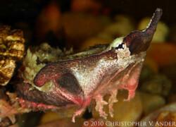 Chelus fimbriatus – żółw matamata – raport rozmnożeniowy