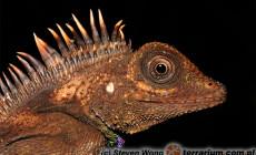 Gonocephalus belli