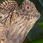 Gonocephalus chamaeleontinus – agama kątogłowa, kątogłówka kameleonowata, drakun kameleonowaty