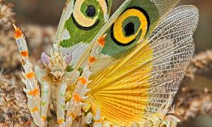 Mantodea – modliszki